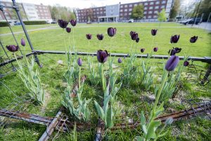 View of tulips growing through old metal bead fraame that is part of installation