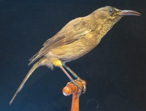 Photo of the extinct bird A Kauaʻi ʻōʻō